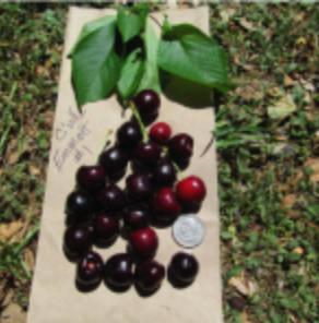 Emmett's Cherry